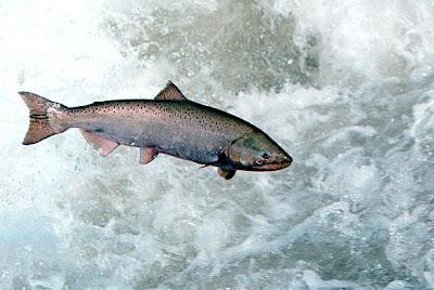 Copper River Salmon!